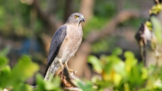 Birds at The Jamoon - Corbett Resort in jim corbett national park