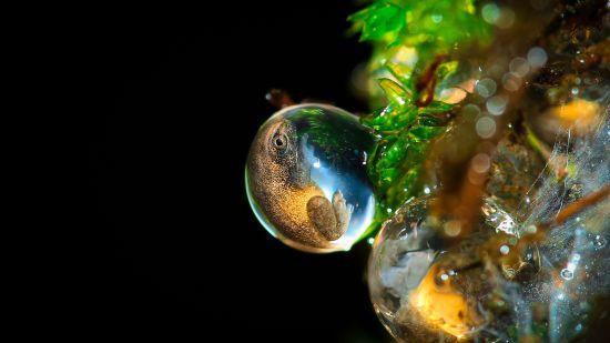 Amboli Bush Frog Egg - Sanctuary Asia - Call of the Wild - 2nd prize