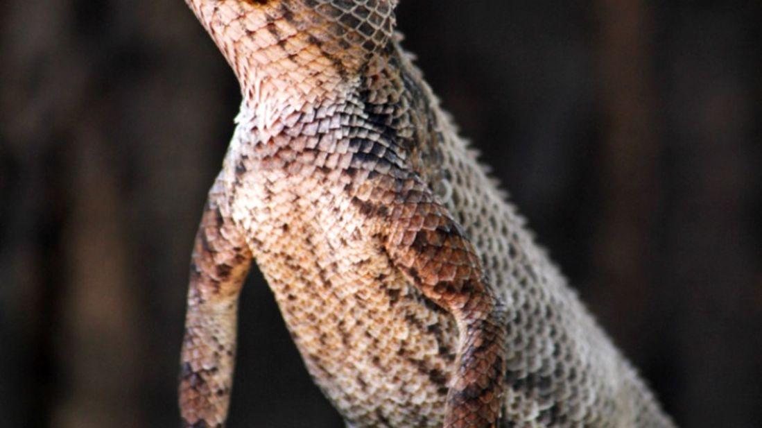 Satpura - Indian Garden Lizard-Reni Pani Jungle Lodge-Best Hotels in Madhya Pradesh