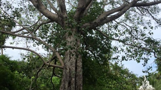 Bodhi tree in Theosophical Society