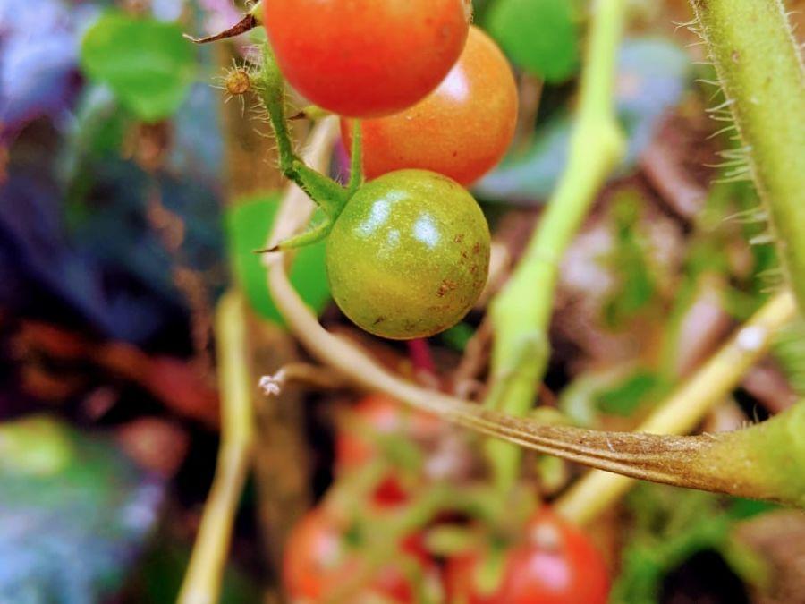 alt-text tomato