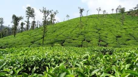 Coorg International Coorg tea plantation Coorg International