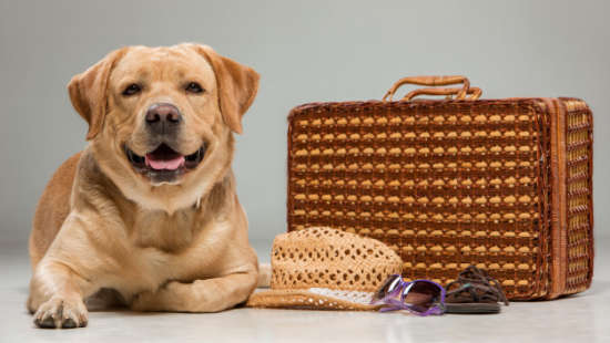 beautiful-labrador-with-suitcase 155003-143