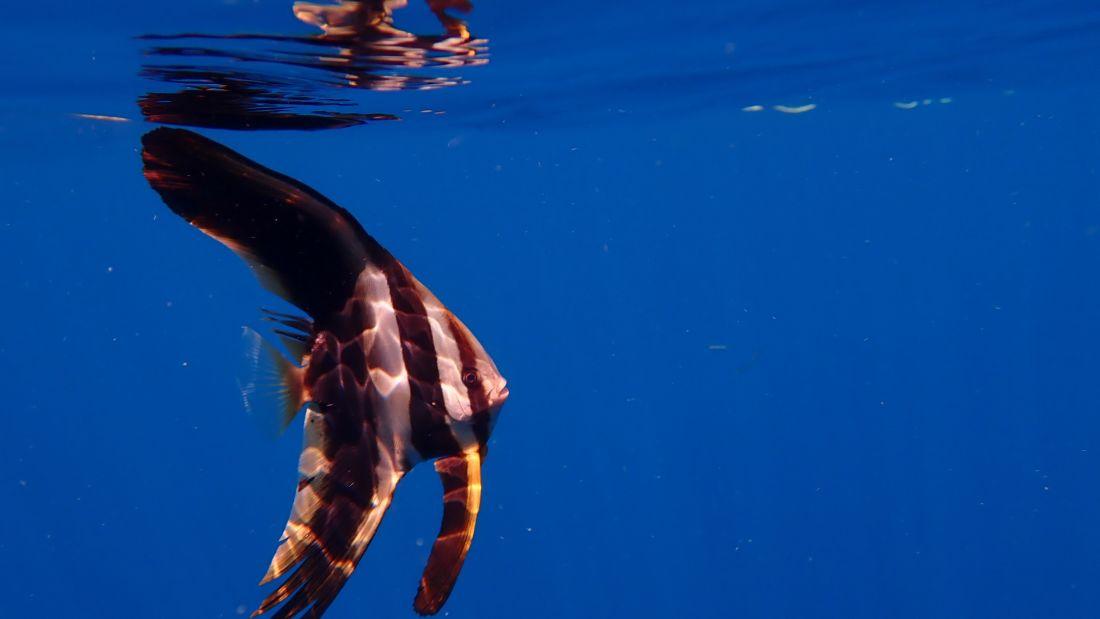 Juvenile Batfish Photo by Mia Raghavi