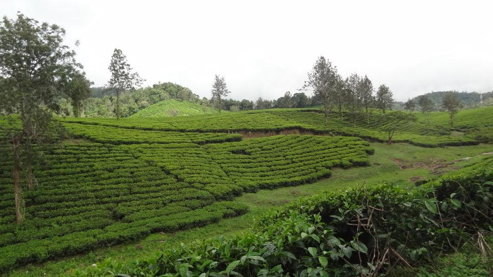 Munnar  Kerala  Tea Gardens