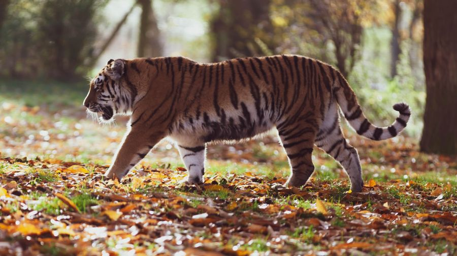 amur-tiger-4155922 1920