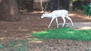 mysore-zoo-white-deer