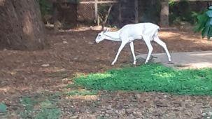 mysore-zoo-white-deer