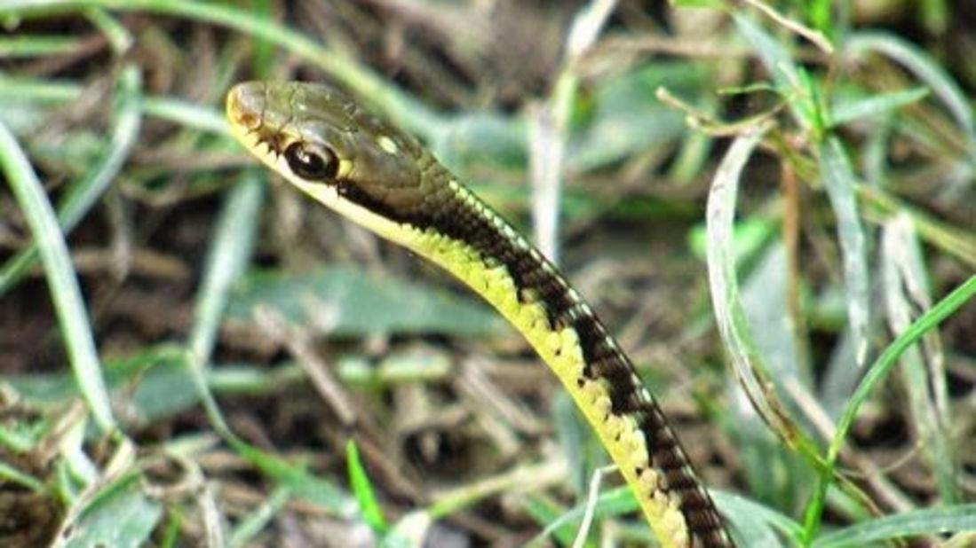 Snake Bronze -The Hideaway River Lodge - Corbett Resort in jim corbett national park