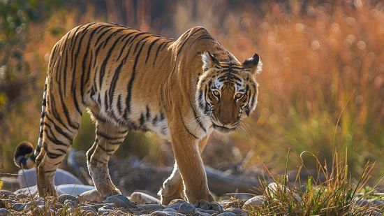 800px-Bengal Tiger in backlight at Corbett National Park