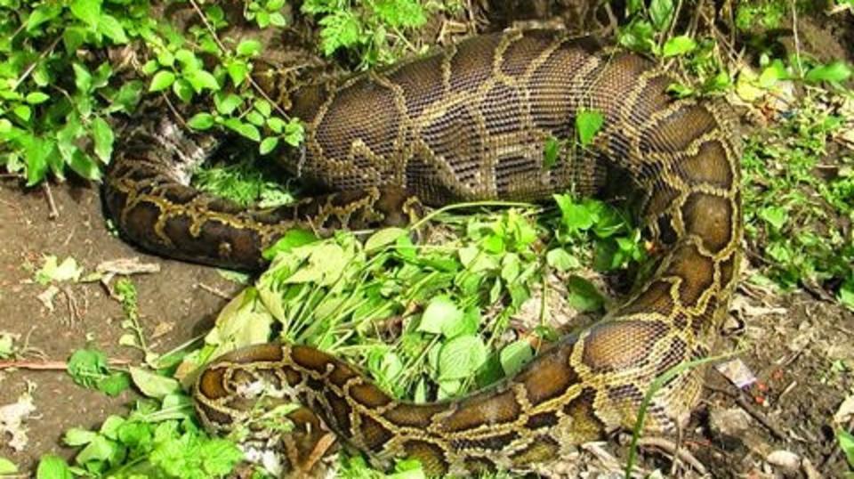 Python - The Hideaway River Lodge - Corbett Resort in jim corbett national park