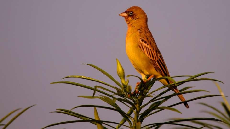 Red-Headed bunting-Reni Pani Jungle Lodge-Best Hotels in Madhya Pradesh