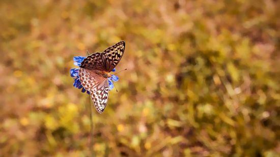 Butterfly LaRisa Goa
