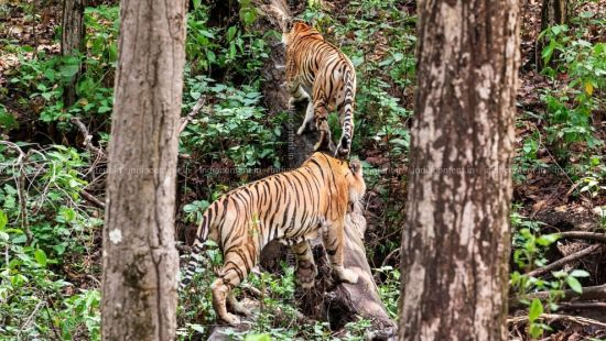 Tiger Trail, Rosa Bandhavgarh Meadows