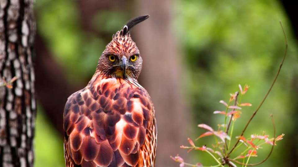 Crested Hawk Eagle-Reni Pani Jungle Lodge-Best Hotels in Madhya Pradesh-bird watching at reni pani