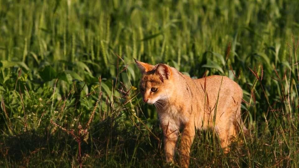 Jungle Cat-Reni Pani Jungle Lodge-Best Hotels in Madhya Pradesh 2