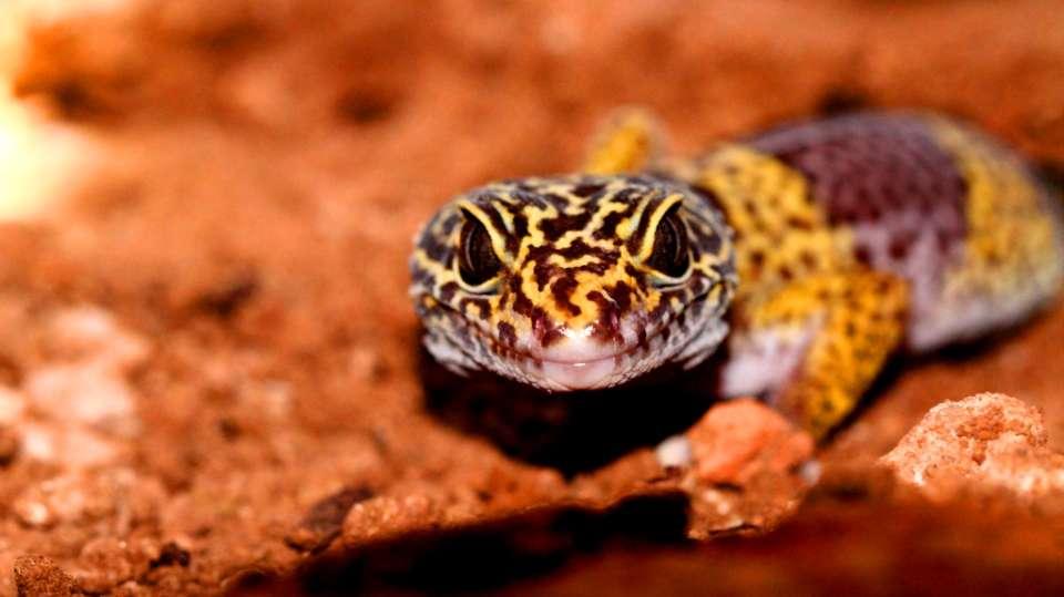 Leopard Gecko-Reni Pani Jungle Lodge-Best Hotels in Madhya Pradesh