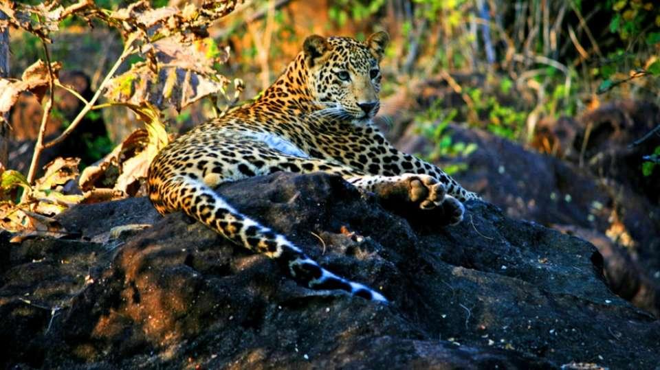 Satpura - Leopard-Reni Pani Jungle Lodge-Best Hotels in Madhya Pradesh