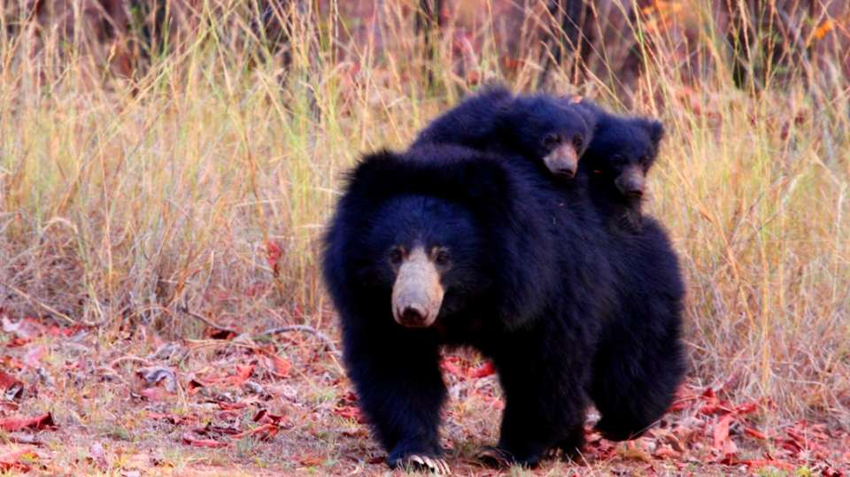 Sloth Bear - Mother with two cubs-Reni Pani Jungle Lodge-Best Hotels in Madhya Pradesh