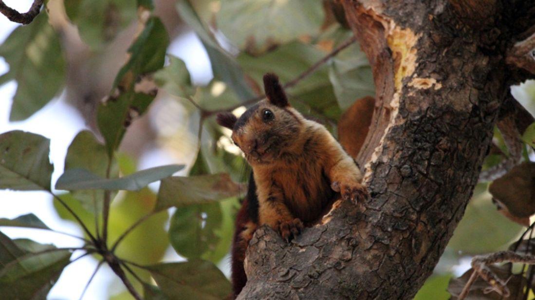 Giant Squirrel-Reni Pani Jungle Lodge-Best Hotels in Madhya Pradesh