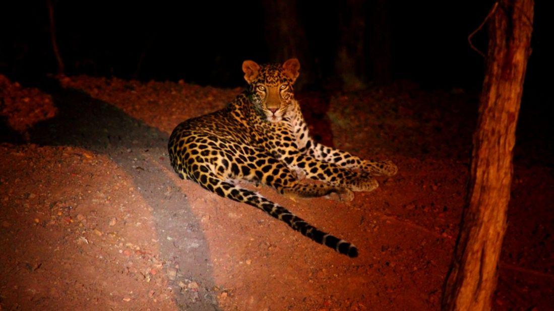 Leopard-Reni Pani Jungle Lodge-Best Hotels in Madhya Pradesh 2