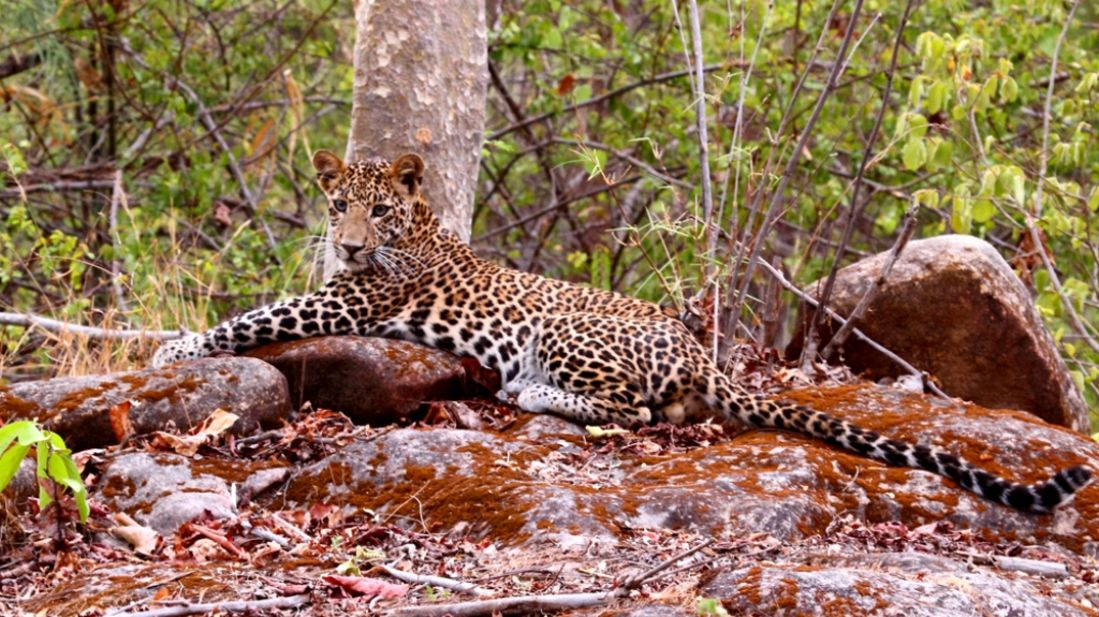 Leopard-Reni Pani Jungle Lodge-Best Hotels in Madhya Pradesh