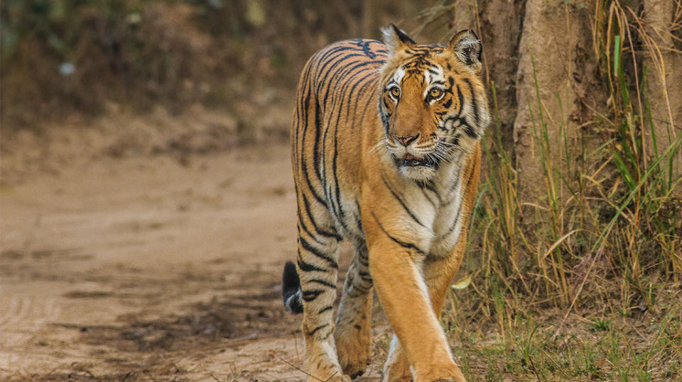Bengal Tiger at Corbett National Park near Infinity Resorts Corbett