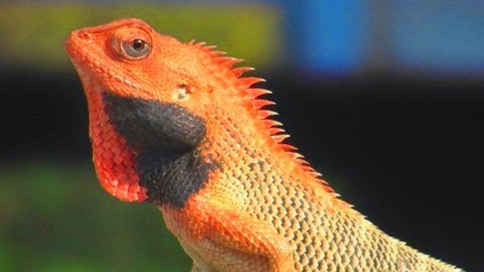 Reptile - The Hideaway River Lodge - Corbett Resort in jim corbett national park