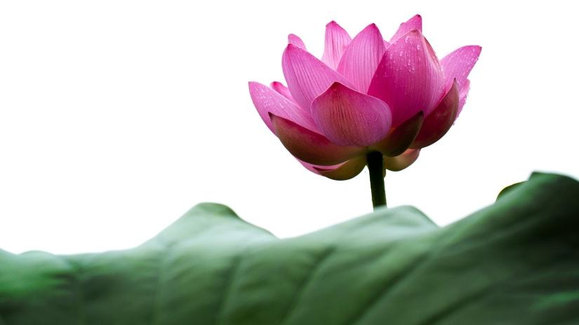 lotus-614495 1920