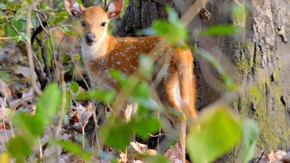 Deer at The Hideaway River Lodge - Corbett Resort in jim corbett national park