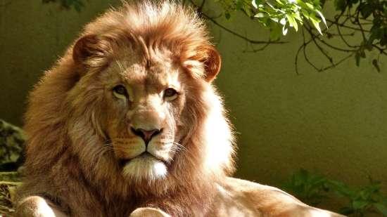 Lion at Kaziranga National Park, Adventure Activities in Kaziranga