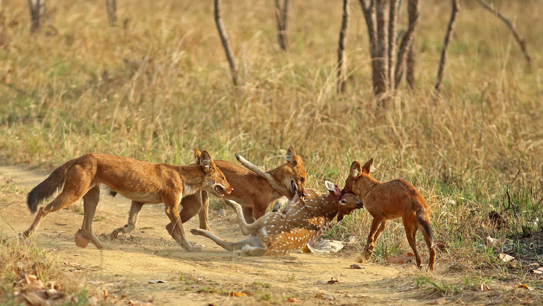 4X4 Game Drive 1, Wild Dogs at Satpura National Park, Wildlife Safari at Satpura National Park, Wildlife Sanctuary close to our resort in Satpura, Drive through the Satpura National Park, Satpura Resort, Jungle resorts in Madhya Pradesh, Forest resorts in