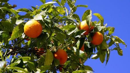 Coorgi Specialities Coorg Oranges Amanvana Spa Resort Madikeri Resort