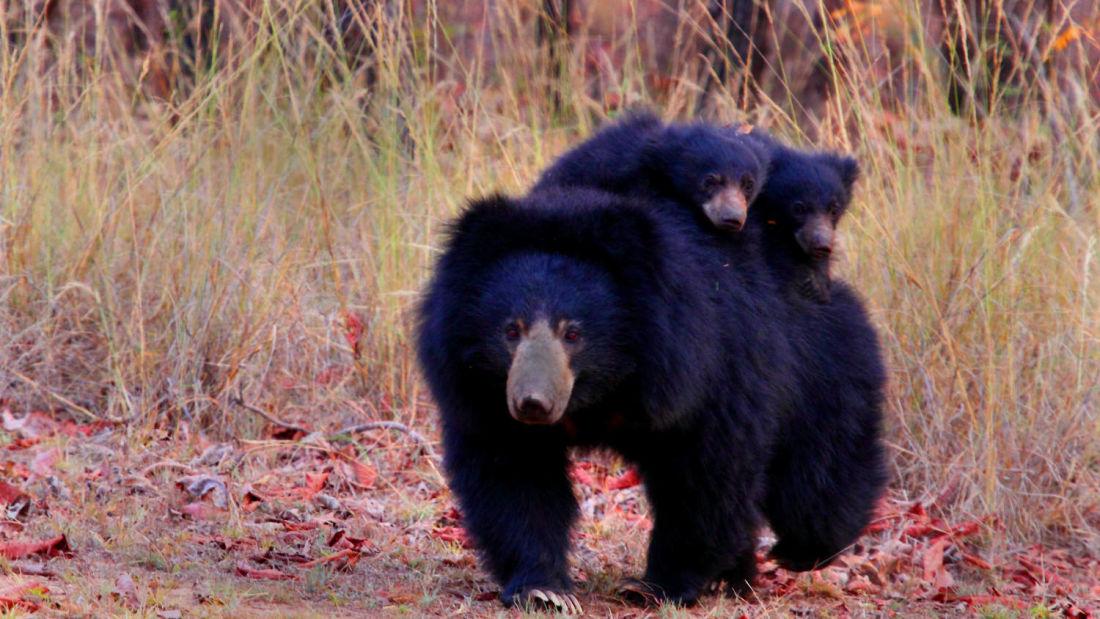 Sloth Bear and Cubs-Reni Pani Jungle Lodge-Best Hotels in Madhya Pradesh kitcuu