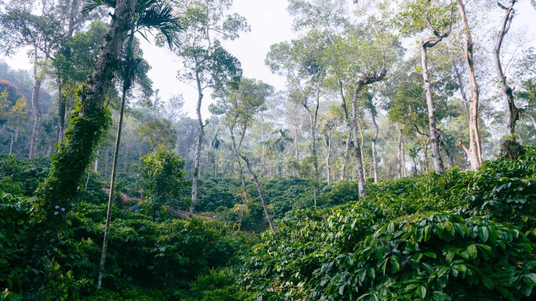 Coffee Plantation Tranquil Resort Wayanad Kerala oieikx 1