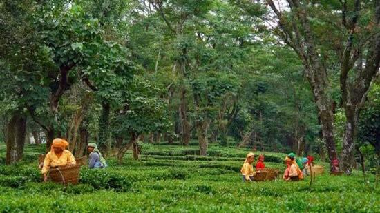 tea gardens RS Sarovar Portico Palampur