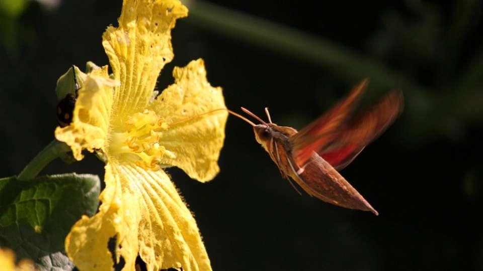 Satpura - Hummingbird Moth-Reni Pani Jungle Lodge-Best Hotels in Madhya Pradesh