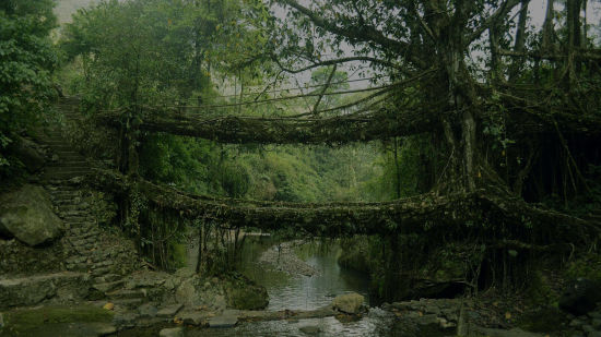 Living root bridge polo towers1