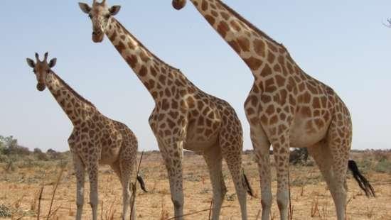 Girafeskoure The Zehneria Portico Narobi