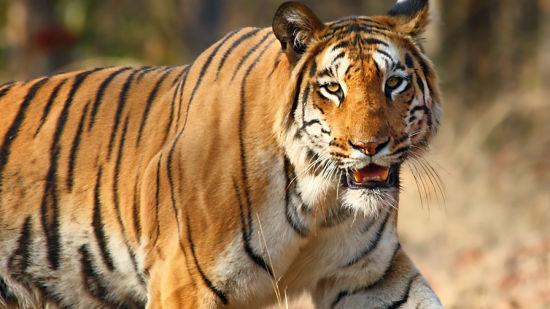 Tigers at Jim Corbett National Park