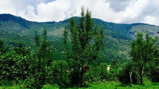 Apple Orchard Tour Near Larisa Mountain Resort in Manali - honeymoon packages in manali