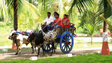 Bullock Cart Ride, Luxury Resort in Alibaug, Rooms in Alibaug, Suites in Alibaug, Villas in Alibaug