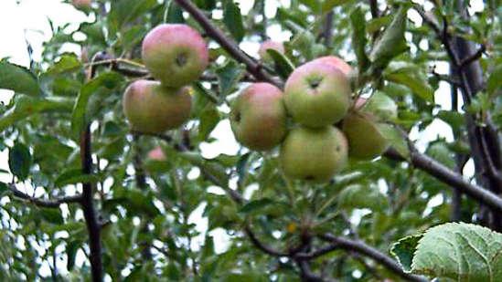 The Ramgarh Bungalows - 19th C, Kumaon Hills Kumaon Fruit Orchards