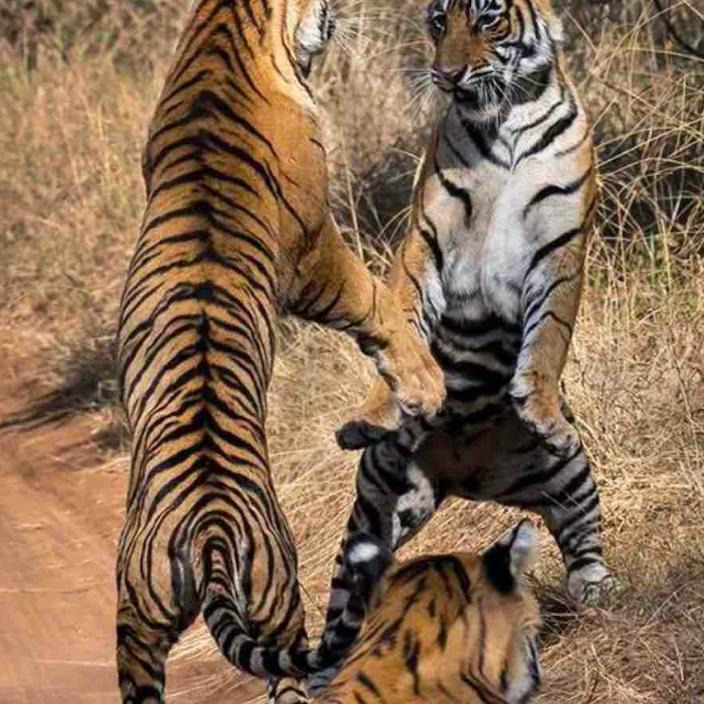030 Ranthambore Tigers 2x