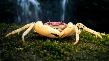 Waterfall Crab - Glubernnatorina longipes