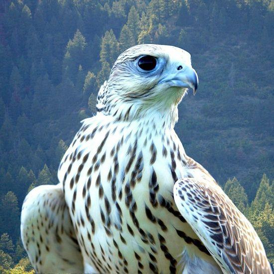 falcon-84789 1280