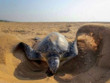 Oive Ridley turtle