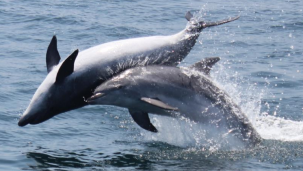dolphin safari Lotus Beach Resort Murud Beach-Dapoli Ratnagiri