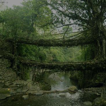 Living root bridge polo towers1