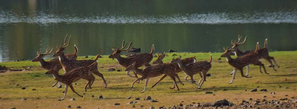 wildlife, wildlife near kanha national park. asteya kanha resort